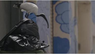 İnsanların Çöpleri ile Yaşamını Devam Ettiren Kuş Türüne Planet Earth Tarzı Parodi Video!