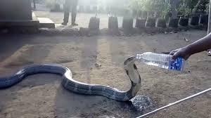 Sosyal Medyada Paylaşım Rekorları Kıran, 'Pet Şişeden Su İçen Kobra' Videosu